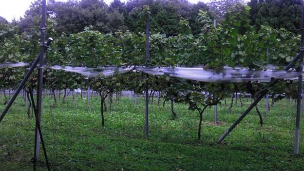 葡萄畑一帯 (6)