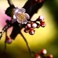 Photos: 淡色の花