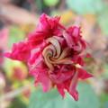 八重咲き朝顔 蕾