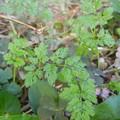 こぼれ種 オルレア 発芽