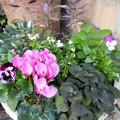 春の寄せ植えの植え付け