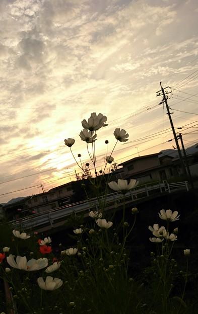 夕景とコスモス~(2)