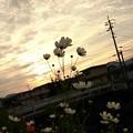 Photos: 夕景とコスモス~(2)