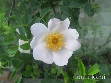 バラの原生種