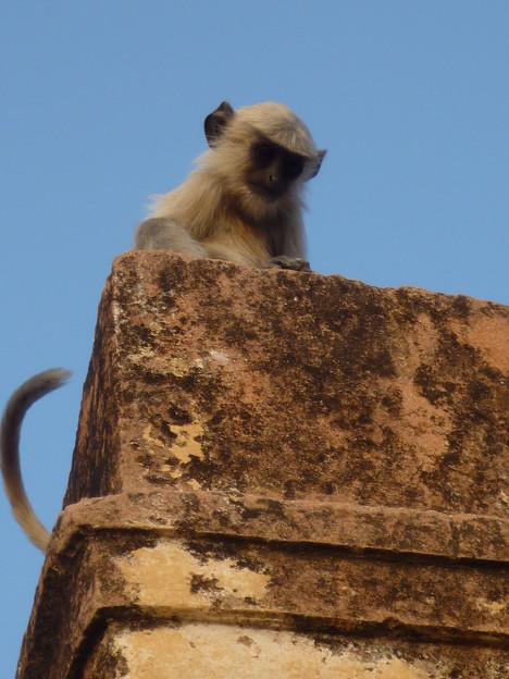 砦を守る神の使者 Juvenile Hanuman langur at Jaigarh Fort