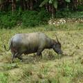 神の使い 田をのし歩く  Water buffalo  in rice terraces