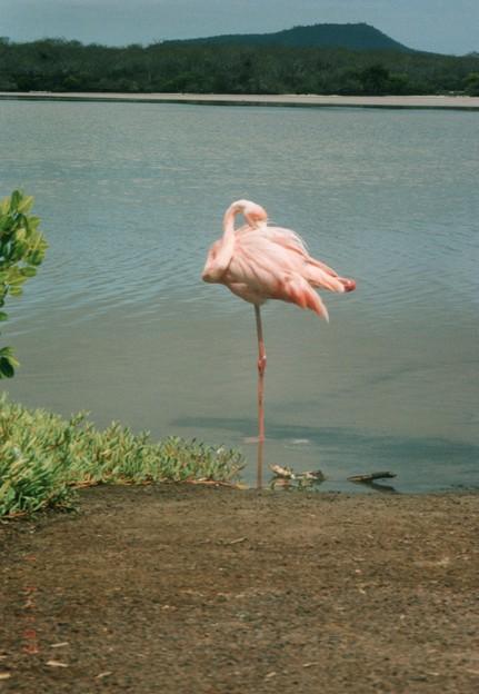 ベニイロフラミンゴ、ガラパゴス Flamingo,Floreana Island   *薄紅の羽根のあいだに嘴(はし)埋め片足のまま眠る愛しさ