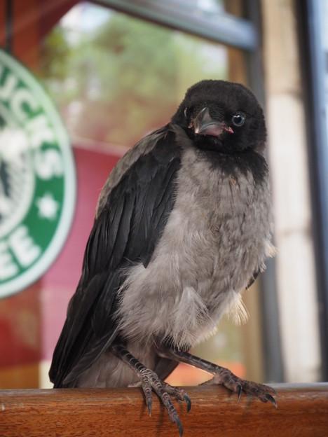 スタバのズキンガラス Two tone color crow at Starbucks
