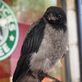 Photos: スタバのズキンガラス Two tone color crow at Starbucks