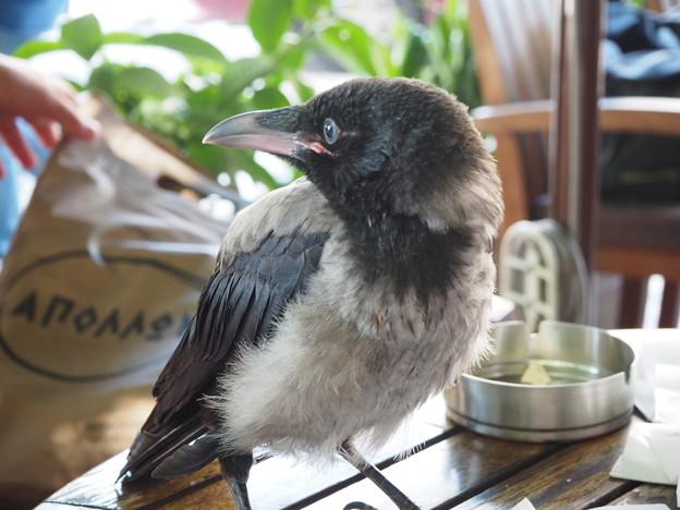 無頼の徒 Hooded Crow on a table