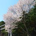 Photos: 北海道神宮の鳥居桜