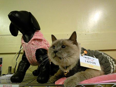 シャム店長、猫セーターのモデルに!