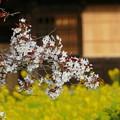 2016/04/09・・・日本五大桜の1つ?04