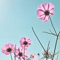 Photos: 《秋桜》