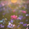 【 逆光 】 。 《秋桜》