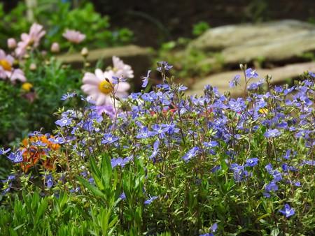 庭 ベロニカオックスフォードブルー2