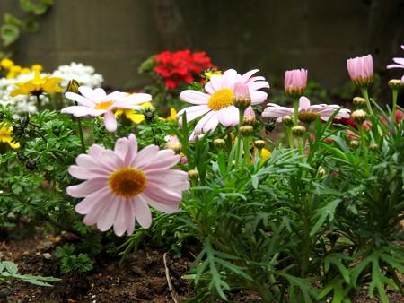庭 マーガレット(ピンク)