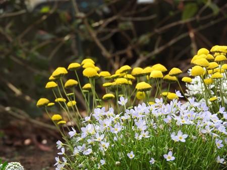 庭 ヒナソウと花ほたる