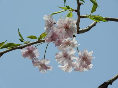 庭 しだれ桜3