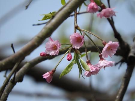 庭 しだれ桜4
