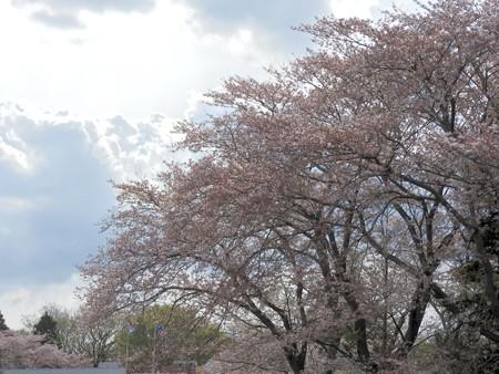 千葉子どもの国 05迎え桜