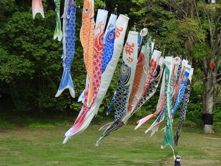 昭和の森23 鯉のぼり