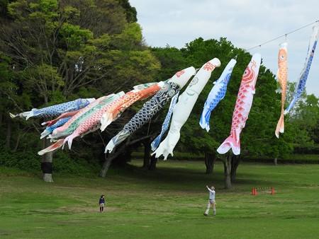 昭和の森24 鯉のぼり