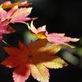 Photos: 楓の色付き