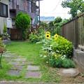 写真: 向日葵咲いた