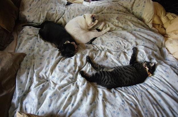 写真: 布団が猫に占領された
