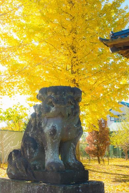狛犬とイチョウ@桶川