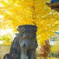 写真: 狛犬とイチョウ@桶川