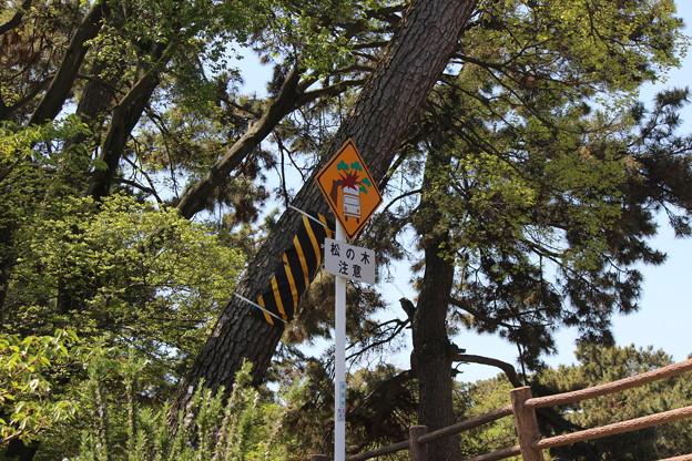 松の木注意