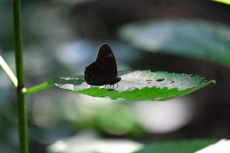 2014.07.15 瀬谷市民の森 クロヒカゲ