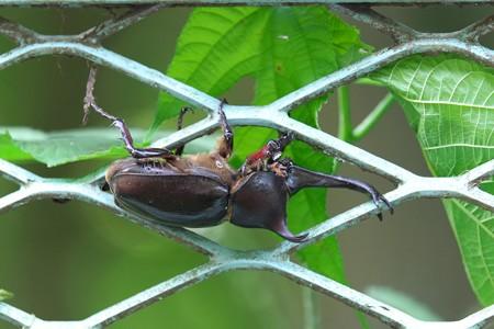 2014.07.15 瀬谷市民の森 フェンスにカブトムシ