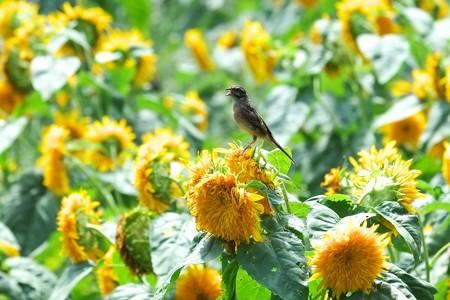 2014.08.18 追分市民の森 向日葵にホオジロ