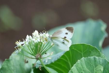 2014.08.24 追分市民の森 ニラにモンシロチョウ