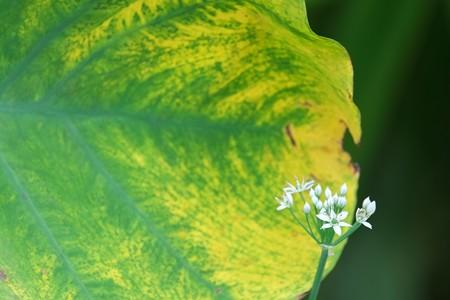 2014.09.04 追分市民の森 サトイモとニラ