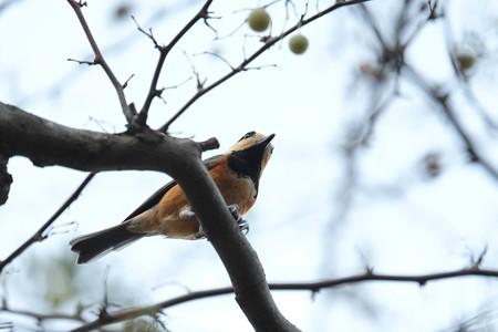 2014.10.09 和泉川 エゴノキにヤマガラ 貯食