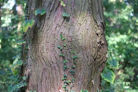 2014.10.18 追分市民の森 桧 衝撃の跡