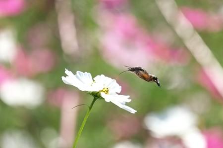 2014.10.20 追分市民の森 秋桜へホウジャク