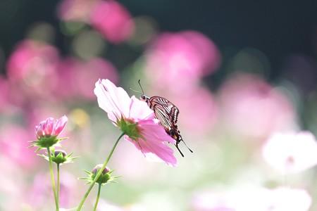 2014.10.26 追分市民の森 秋桜にアゲハ