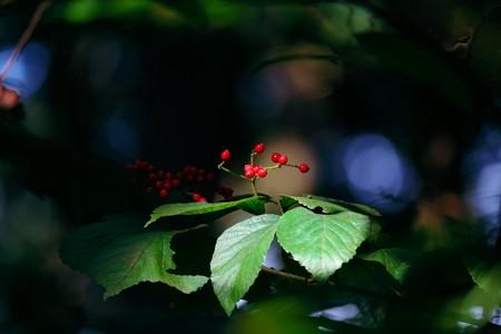 2015.09.30 追分市民の森 赤く木の実