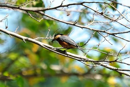 2015.10.12 追分市民の森 山雀とエゴノキ