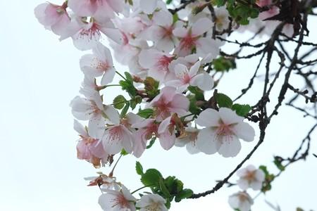 2015.10.21 下川井 十月桜