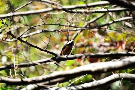 2015.11.03 瀬谷市民の森 エゴノキにヤマガラ