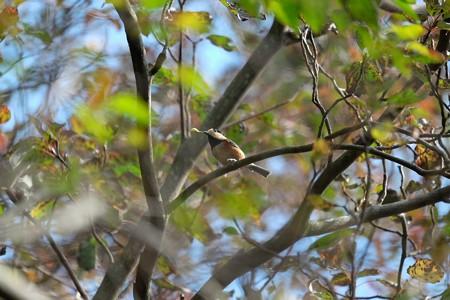 2015.11.05 瀬谷市民の森 エゴノキにヤマガラ