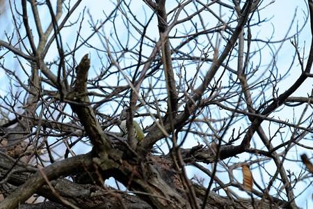 2015.12.10 追分市民の森 枯木陰にアオゲラ