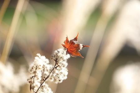 2015.12.12 大池公園 セイタカアワダチソウに紅葉