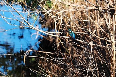 2016.01.20 和泉川 柳の枝にカワセミ